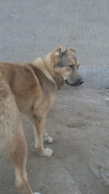 Продаю собака.Кыргыз добот.  в Бишкек