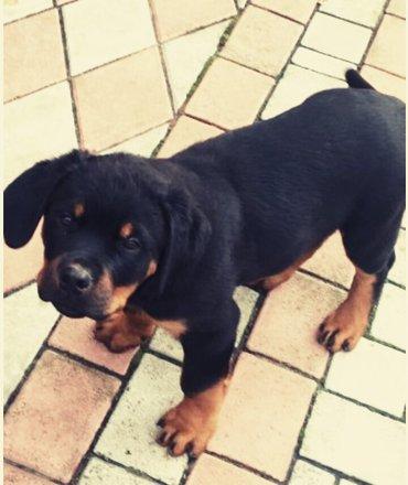Продаю ротвейлер щенка 2,5 месяц  в Шопоков