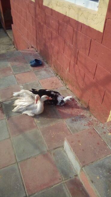 lal - Azərbaycan: Lal ördek satiram biri 15manat bu nomreyle zeg vurun