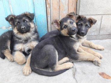 продаются щенки немецкой овчарки, чистокровные, без родословной. Щенка в Кант