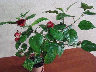 Продаю розу гибискус в Бишкек