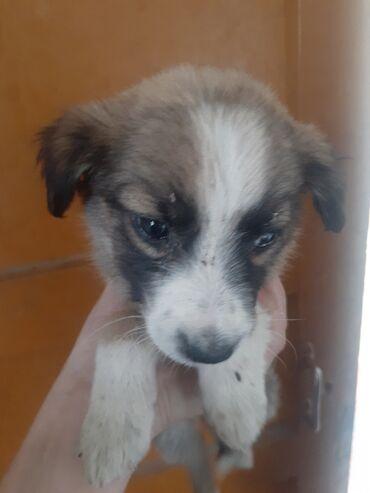 Животные - Чат Кёль: Продаю щенка