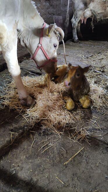 Животные - Кыргызстан: Продаю | Корова (самка) | Голштин, Симментальская | Для разведения, Для молока | После отела