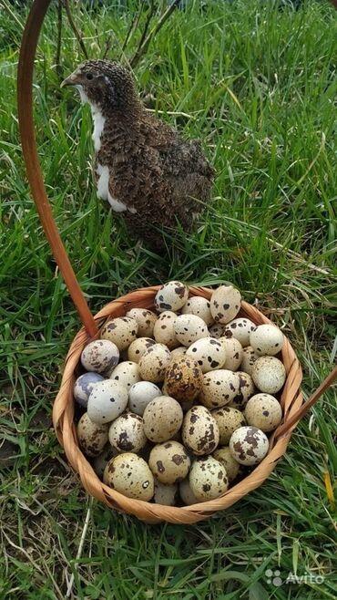 Животные - Студенческое: Перепелийные яйца  Продается свежие перепелийные яйца