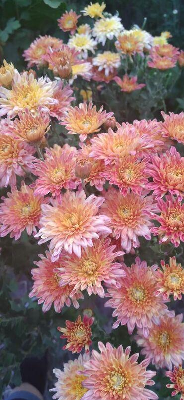 Семена и уличные растения - Кыргызстан: Продаю хризантему.Осталось четыре сорта