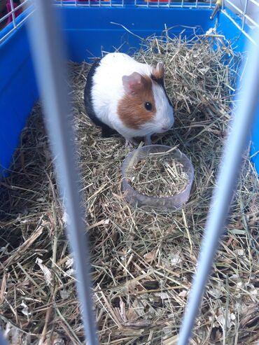Морские свинки - Кыргызстан: Продается морская свинка!Зовут Акелла 6-7 месяцовОтдадим с клеткой и