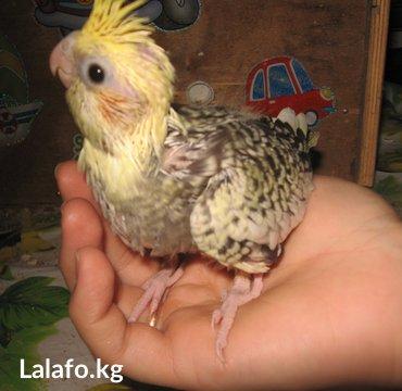 Продаю молодых попугаев-корелл разных в Бишкек