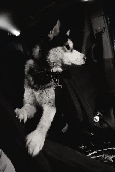 Продаю собаку. Хаски девочка 1.5 года. Есть паспорт, привита проглисто