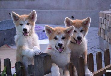хата в бишкеке с бассейном в Кыргызстан: Продаются очень красивые щенки породы акита-ину ( Хатико ), окрас рыжи