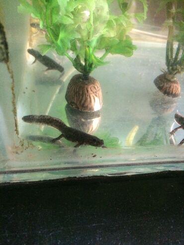 İspan Tritonları satılır.Akvariumdan qacmır. Artıq böyükdürlər orta