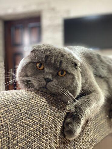 шотландский кот на вязку в Кыргызстан: Кот на вязку Шотландский вислоухий Ищет подружку для любовных утех