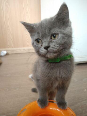 forma dlja ledencov na palochke в Кыргызстан: Продаю очень ласкового кота. Любит спать рядом с хозяином. Возьмёте