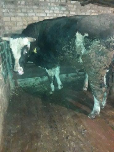 Продаю больших быков. породы галштина в Кант