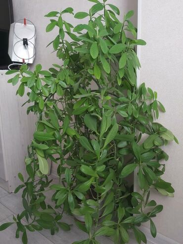 Продается комнатное растение вечно зелёное неприхотливое