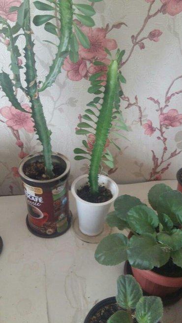 акция на домашние цветы цена 70 сом за каждый в Бишкек