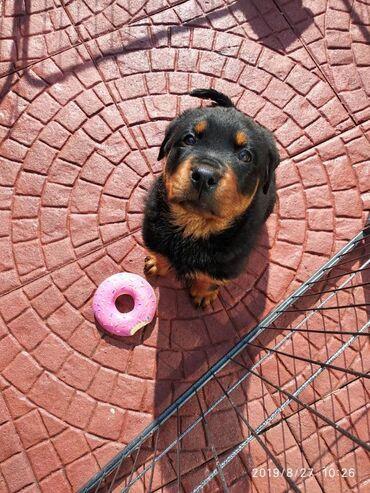 Αρσενικό και θηλυκό κουτάβι RottweilerΈχω όμορφα κουτάβια ρουτ που
