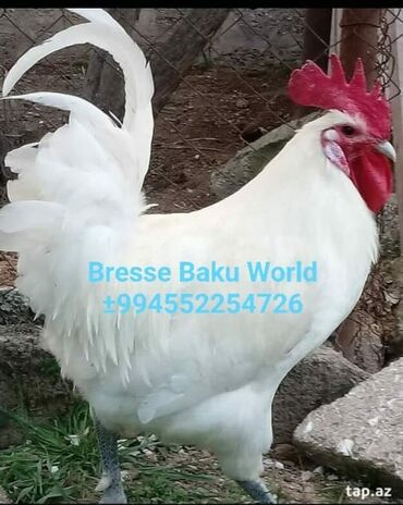 Животные - Гюргян: Bresse De Bresse  Bresse Baku World  Yumurtasi satilir 5 azn