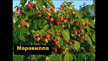 44 объявлений: Малина ремонтатная и летнего плодоношения  Сортовая малина  Саженцы в