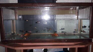 balıq ovu - Azərbaycan: Akvarium baliqlarla birge 100 AZN