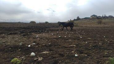 242 объявлений | ЖИВОТНЫЕ: Продаю | Конь (самец) | Конный спорт | Племенные