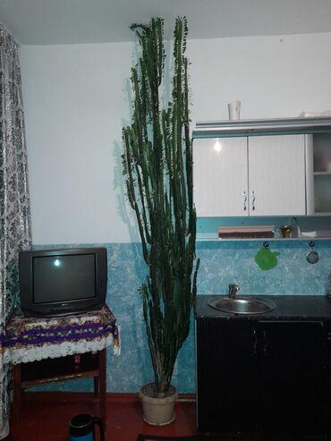 Название кактус рост 3 метра 5 лет цена договорная