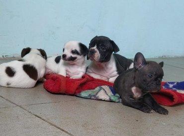 акустические системы rs колонка в виде собак в Кыргызстан: Продаются щенки, чихуахуа и щенок французского бульдога(тигровая