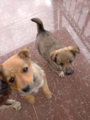 Животные - Тамчы: Бесплатно,в добрые руки, щенки мальчики 2,5 месяца,здоровы