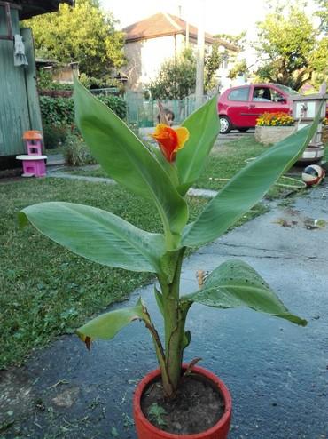 Kućne biljke | Srbija: Kana narandzasta,visina oko 1m