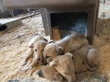Собаки - Кыргызстан: Отдаём меленьких красивых ухоженных щеночков, отдаём бесплатно, зимой