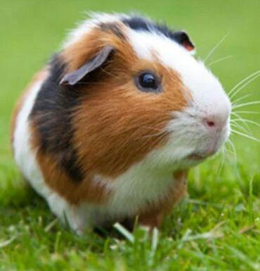Морские свинки - Кыргызстан: Куплю морскую свинку за 400 или 500 Нарын