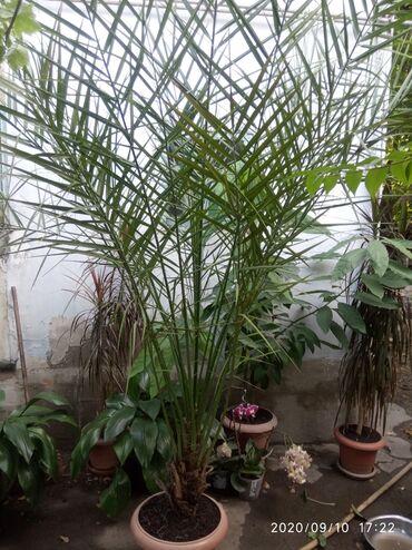 Финики - Кыргызстан: Финиковая пальма,2,5 высота,цена 15000сом