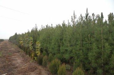 Şəmkir şəhərində Eldar şamları, 2 m uzumluğunda, Qoz ağacları, Fındaq ağacları, Gilas