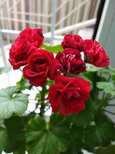 Герань розебудная. Сорт Rosebud Supreme в Бишкек