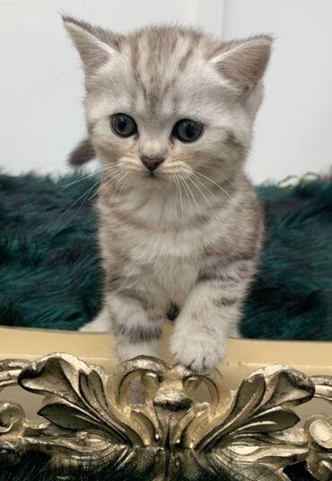 Χαριτωμένα βρετανικά γατάκια κοντά μαλλιάΔιαθέτουμε χαριτωμένα