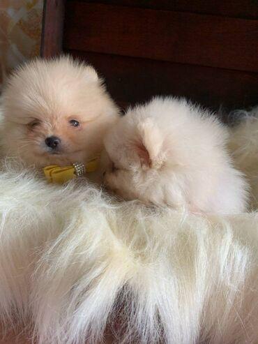 Γεια σας, εδώ έχουμε 2 πανέμορφα κουτάβια Pomeranian αριστερά, 1 κορίτ
