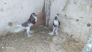 Şişmanlar. Cutduler. Yumurtaya doyurler cutu110 manat. Visnovka