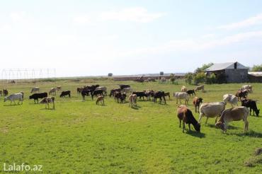 Ağsu şəhərində Ağsuda 200 hektar torpaq sahəsi satılır. Onlardan 100 hektarı