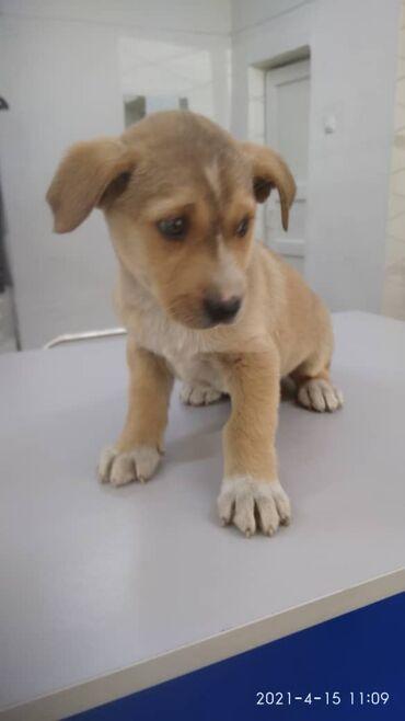 Животные - Кыргызстан: Отдадим в добрые руки щенка мальчик 1, 5 месяца, при наличии будки и