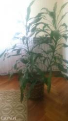 Ostalo za kuću | Pozarevac: Sobno cveće, kukuruz, visina 1,40 m cena za komad