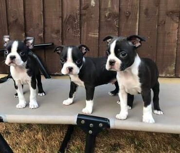 Για σκύλους - Αθήνα: Boston terrier puppies Potty trained, vaccinated and wormed, both