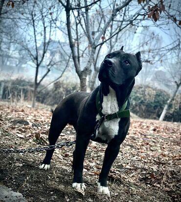 Животные - Кара-Суу: Вязка два кобеля питбуль айс и блэк собаки находятся в Оше