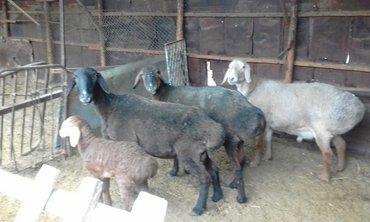 Продаю баран гисарской породы матки по 4 года одна с ярочкой вторая ок в Лебединовка