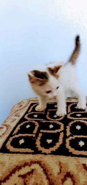 Животные - Кара-куль: Отдам в хорошие руки 2х месячного котёнка,безплатно.тел. г.Кара