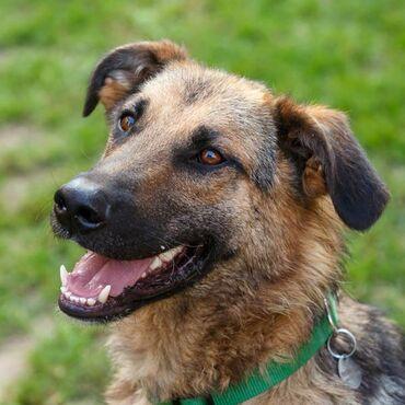 Pas - Srbija: Dobrica trazi domDobrica, pas od 3 godine,kastriran, cipovan