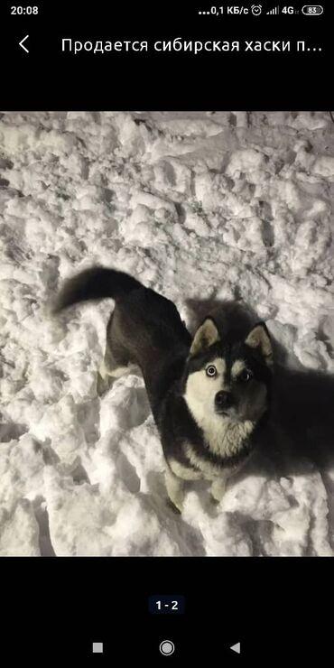 Продается Чистокровный щенок, сибирской хаски. Щенку будет месяц