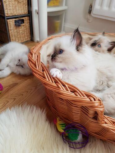 Ragdolls γατάκι για υιοθεσίαΈχουμε αρσενικό και θηλυκό γατάκι Ragdolls