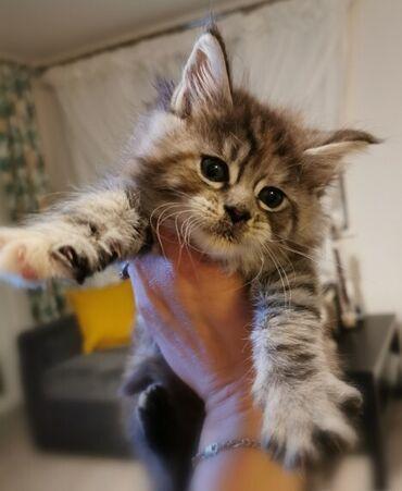 Registrirana prekrasna maineonska mačkica Gccf registriranaLijepa naša