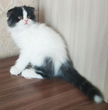 Продаются породистые шотландские вислоухие котята Мальчик хайленд фолд