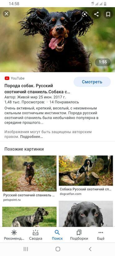 Собаки - Кыргызстан: Продаю щенков породы собак, русский спаниель.кол-во 8 шт.их мама
