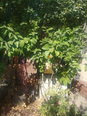 Лимоны - Кыргызстан: Лайм,большое дерево